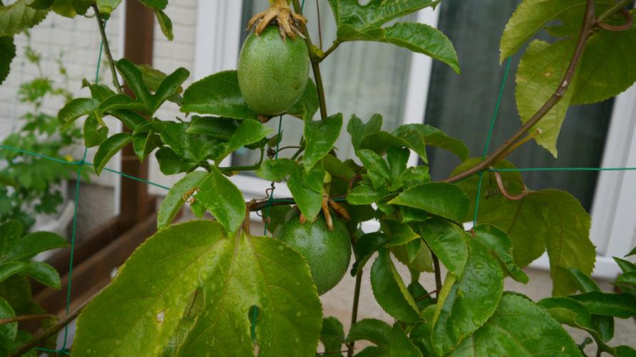 緑のカーテンでわたしが使用している植物