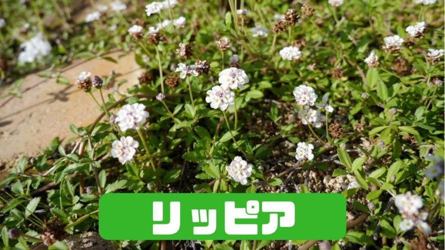 『リッピア(ヒメイワダレソウ)』白いお花が咲き誇るグランドカバーはいかが?