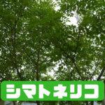 『シマトネリコ』目隠しにもシンボルツリーにもぴったりな半常緑樹