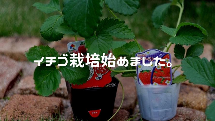 レイズドベッドでイチゴ栽培始めました