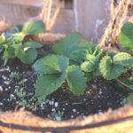 12月の家庭菜園でのイチゴ栽培の様子